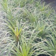 SALE-25-PONY-TAIL-SUCCULENT-PLANT-GOLD-COAST-NURSERY-OVERSTOCKED-273325381020-2