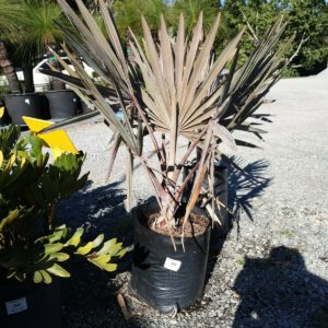 BISMARKIA-PALM-89-LARGE-SIZE-PRICED-TO-SELL-QUICK-GOLD-COAST-NURSERY-273932028291