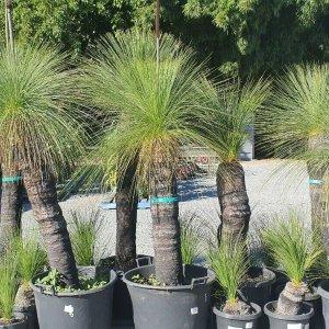 BLACK-BOY-GRASS-TREE-FROM-688-TO-898-CHEAP-PRICE-GOLD-COAST-NURSERY-271688359161