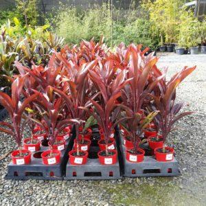 Cordyline-Rubra-140mm-pot-850-PLANT-GOLD-COAST-Berrigans-Nursery-Cheap-283559352081