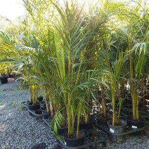 Golden-Cane-PALM-25-LOOKING-GREAT-TUFF-SCREENING-PLANTS-GOLD-COAST-273924190911