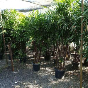 SALE-Rhapis-palm-400mm-pot-395-GOLD-COAST-NURSERY-Mudgeeraba-283544607011