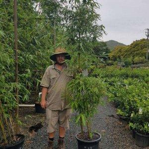 MALAY-DWARF-BAMBOO-135-CHEAP-BAMBUSA-HETEROSTACHYA-PLANTS-GOLD-COAST-273051226252