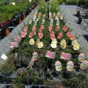 SALE-1-FOR-1150-1-x-ASSORTED-GREVILLEA-SHRUB-NATIVE-SCREEN-GOLD-COAST-272411254182