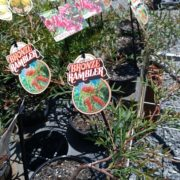 SALE-1-FOR-1150-1-x-ASSORTED-GREVILLEA-SHRUB-NATIVE-SCREEN-GOLD-COAST-272411254182-2