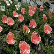 SALE-1-FOR-1150-1-x-ASSORTED-GREVILLEA-SHRUB-NATIVE-SCREEN-GOLD-COAST-272411254182-4