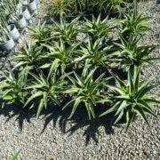 SALE-1650-AGAVE-El-Miradores-Gold-SUCCULENT-PLANT-GOLD-COAST-NURSERY-283546860322-2