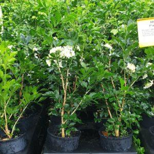 CHEAP-HUGE-HEDGING-PLANTS-Murraya-Paniculata-mock-orange-GOLD-COAST-283452384133