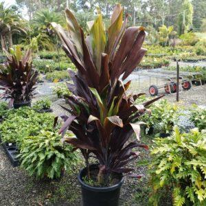 Cordyline-Negra-500mm-pot-129-PLANT-GOLD-COAST-Berrigans-Nursery-Cheap-273943209283