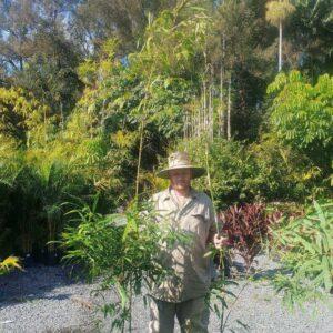 MALAY-DWARF-BAMBOO-77-CHEAP-BAMBUSA-HETEROSTACHYA-PLANTS-GOLD-COAST-273051244733
