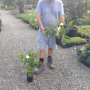 SHRUB-GARDENIA-FLORIDA-WHITE-flowers-PLANTS-GOLD-COAST-Berrigans-road-nursery-271792230793