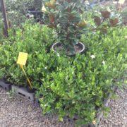 SHRUB-GARDENIA-FLORIDA-WHITE-flowers-PLANTS-GOLD-COAST-Berrigans-road-nursery-271792230793-2
