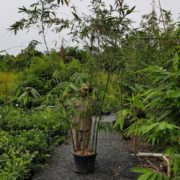 BAMBOO-OLDHAMII-SALE-ONLY-179-CHEAP-BAMBUSA-PLANTS-GOLD-COAST-NURSERY-273051316674-2