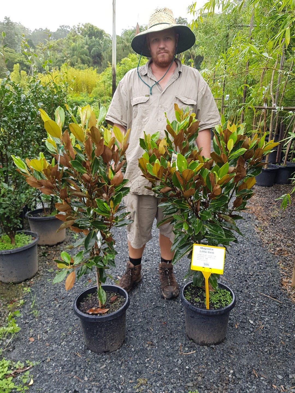Little Gem Magnolia Sale 66 For A 30cm Pot Hedge Screen