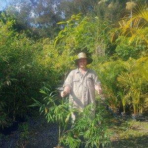 MALAY-DWARF-BAMBOO-55-CHEAP-BAMBUSA-HETEROSTACHYA-PLANTS-GOLD-COAST-282831860555
