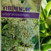 SALE-Viburnum-odoratissimum-CHEAP-PLANT-1650-GOLD-COAST-282876935295-3