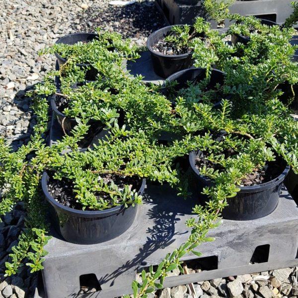 sale-695-FAST-NATIVE-GROUND-COVER-myoporum-parvifolium-BROAD-leaf-PINK-flowers-273100303595