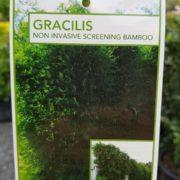 BAMBOO-GRACILIS-SALE-330-big-SLENDER-WEAVERS-screening-GOLD-COAST-NURSERY-SALE-282832004976-3