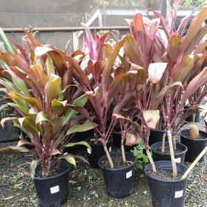 Cordyline-Rubra-250mm-pot-2750-PLANT-GOLD-COAST-Berrigans-Nursery-Cheap-283559351196