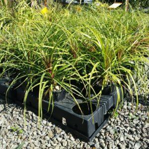 SALE-850-PONY-TAIL-Beaucarnea-Recurvata-SUCCULENT-PLANT-GOLD-COAST-NURSERY-273926988746