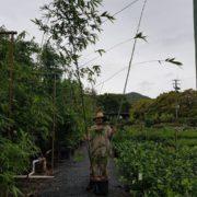 BAMBOO-OLDHAMII-SALE-ONLY-135-CHEAP-BAMBUSA-PLANTS-GOLD-COAST-NURSERY-282831922727