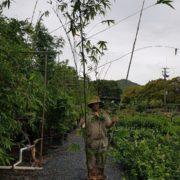 BAMBOO-OLDHAMII-SALE-ONLY-135-CHEAP-BAMBUSA-PLANTS-GOLD-COAST-NURSERY-282831922727-2
