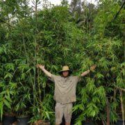 BAMBOO-OLDHAMII-SALE-ONLY-135-CHEAP-BAMBUSA-PLANTS-GOLD-COAST-NURSERY-282831922727-3