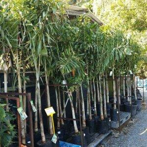 Foxtail-Palm-Wodyetia-Bifurcata-110-LARGE-SIZE-GOLD-COAST-NURSERY-283550692517