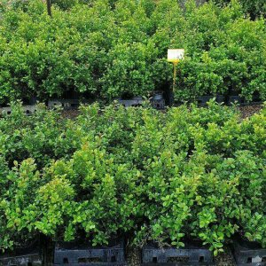 LILLY-PILLY-HEDGE-SCREENING-ELITE-RESILIENCE-SELECT-GOLD-COAST-695-SALE-283399950918