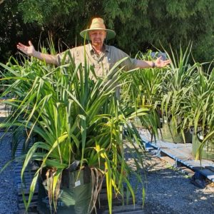 Pandanus-PALM-249-LARGE-SIZE-PRICED-TO-SELL-QUICK-GOLD-COAST-NURSERY-273868427698