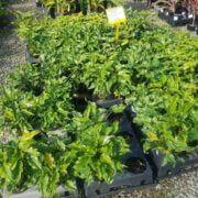 SALE-850-Philodendron-xanadu-PLANT-GOLD-COAST-NURSERY-OVERSTOCKED-283007762608-2