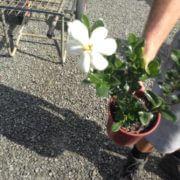 sale-695-SHRUB-GARDENIA-GRANDIFLORA-STAR-CHEAP-HEDGE-PLANTS-GOLD-COAST-282875494168-2