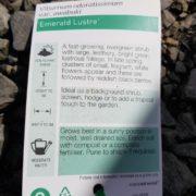 695-viburnum-emerald-Lustre-CHEAP-PLANT-Gold-COAST-Berrigans-273101862429-3