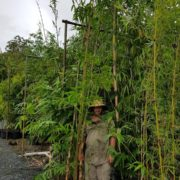 BAMBOO-SALE-220-LARGE-HOOKERII-DENDROCALAMUS-NON-INVASIVE-CLUMPING-GOLD-COAST-273051405289-2