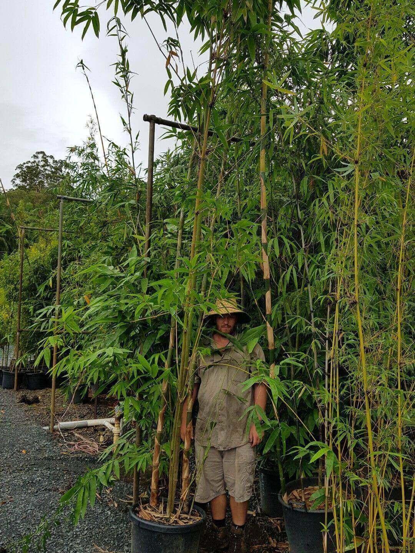 Bamboo Sale 220 Large Hookerii Dendrocalamus Non Invasive