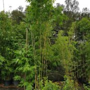 BAMBOO-SALE-220-LARGE-HOOKERII-DENDROCALAMUS-NON-INVASIVE-CLUMPING-GOLD-COAST-273051405289-3